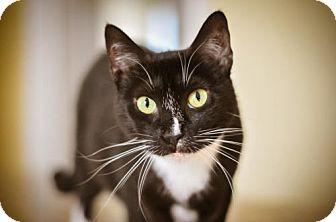Domestic Shorthair Cat for adoption in Buford, Georgia - Kokomo