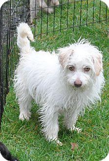 Terrier (Unknown Type, Small) Mix Dog for adoption in Tumwater, Washington - Bon Bon