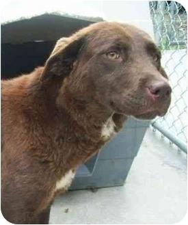 Labrador Retriever Mix Puppy for adoption in Spruce Pine, North Carolina - Shasta