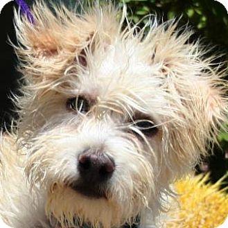 Gilbert, AZ - Schnauzer (Miniature). Meet Snarf a Dog for Adoption.