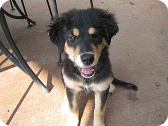 Portland Me German Shepherd Dog Meet Shaloma A Pet For Adoption