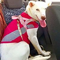 Adopt A Pet :: Niya - Normal, IL