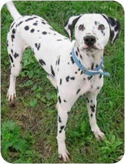 Dalmatian Dog for adoption in Steger, Illinois - Captain