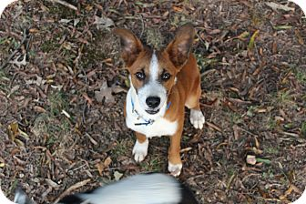 Collie Mix Puppy for adoption in Monroe, North Carolina - Buddy