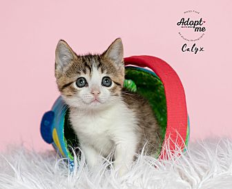 Adopt A Pet :: Calyx  - Houston, TX