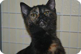 Domestic Shorthair Kitten for adoption in Edwardsville, Illinois - Cresecent