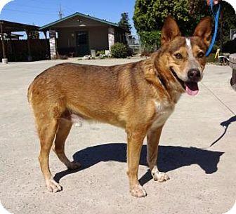 Australian Cattle Dog Mix Dog for adoption in Lathrop, California - Buddy
