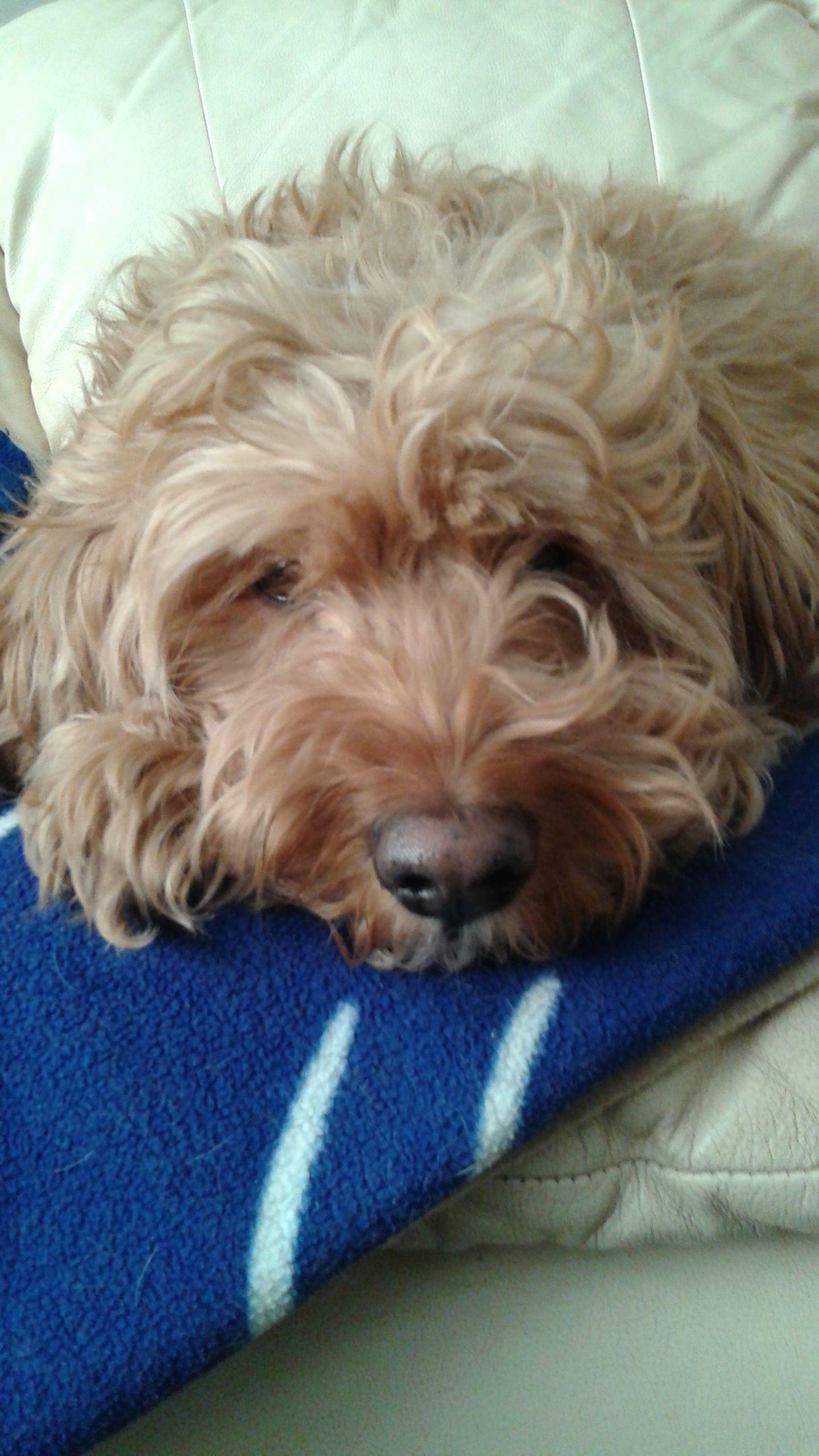 Mississauga, ON - Cockapoo  Meet Bob a Pet for Adoption