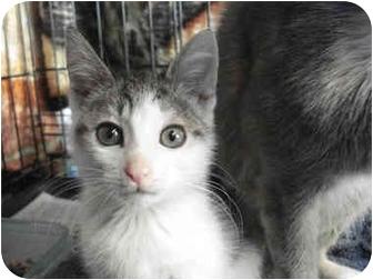 Domestic Shorthair Kitten for adoption in Brooklyn, New York - Kiki
