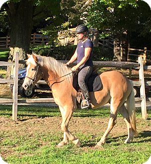 Haflinger for adoption in Sharon Center, Ohio - Arnie