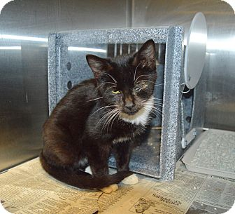 Domestic Shorthair Kitten for adoption in Henderson, North Carolina - Thomas