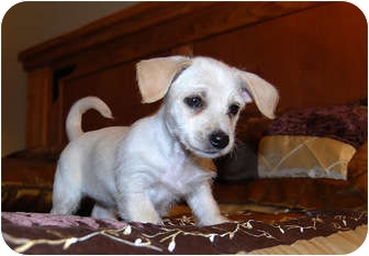 Yorkie, Yorkshire Terrier/Poodle (Miniature) Mix Puppy for adoption in Broomfield, Colorado - Beth