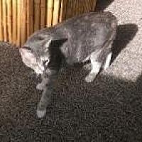 Adopt A Pet :: Frenchie - Sarasota, FL