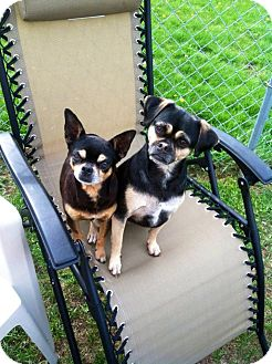 Pug/Chihuahua Mix Dog for adoption in Hancock, Michigan - Scooter and Tiny! (Sponsored)