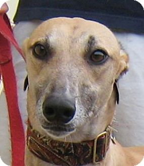 Greyhound Dog for adoption in Oak Ridge, North Carolina - Chad