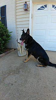 German Shepherd Dog Dog for adoption in Gainesville, Virginia - Fiona