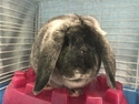 Adopt a Pet :: PETER - Augusta, ME -  Lop-Eared/Lop-Eared Mix