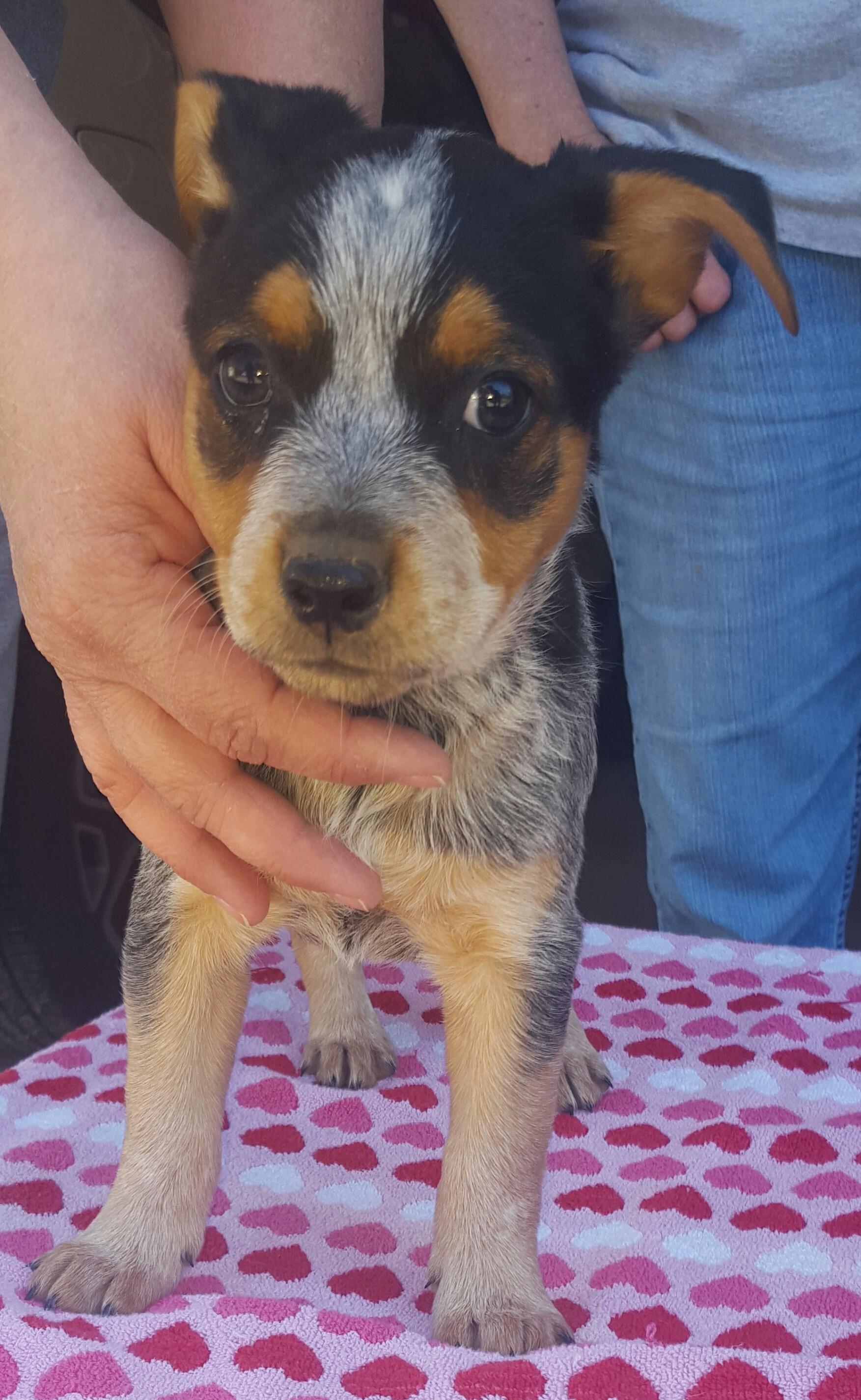 Blue Heeler Puppies For Sale In Arkansas -