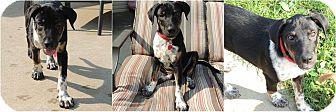 Anatolian Shepherd/Australian Cattle Dog Mix Puppy for adoption in Middleton, Wisconsin - Mitzy