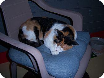 Domestic Shorthair Cat for adoption in Glendale, Arizona - LIL'BIT