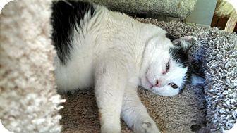 Domestic Shorthair Cat for adoption in St Paul, Minnesota - Apollo