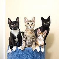 Seville Oh Domestic Shorthair Meet Wooster Petsmart Cats