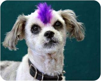 Kansas City Mo Shih Tzu Meet Bennie A Pet For Adoption