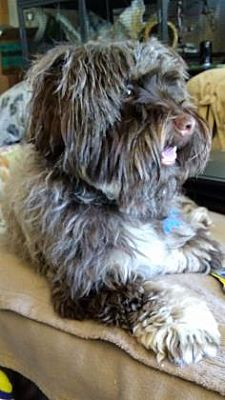 West Des Moines Ia Havanese Meet Rosie Rae A Pet For Adoption