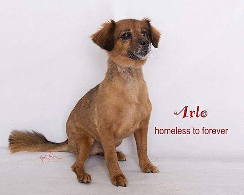 Sherman Oaks Ca Dachshund Meet Arlo A Pet For Adoption