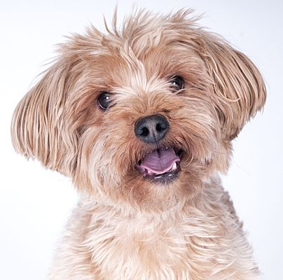 Chicago Il Yorkie Yorkshire Terrier Meet Kolby A Pet For Adoption