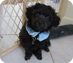 Melbourne Fl Shih Tzu Meet Jester A Pet For Adoption