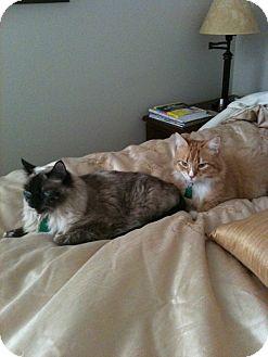 Himalayan Cat for adoption in Laguna Woods, California - Coco