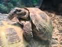 Adopt a Pet :: GRONK - Boston, MA -  Tortoise