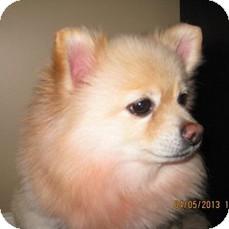 Pomeranian Mix Dog for adoption in Welland, Ontario - Allie