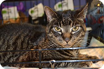 Domestic Shorthair Cat for adoption in Brooklyn, New York - Allen