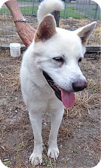 Akita Dog for adoption in Saratoga Springs, New York - Big Man ~ ADOPTED!