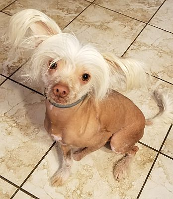 Gilford Nh Chinese Crested Meet Casper New England A Pet For
