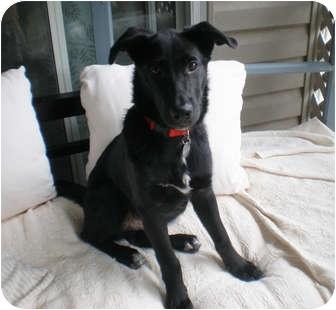 Marietta Ga Labrador Retriever Meet Mulligan A Pet For Adoption