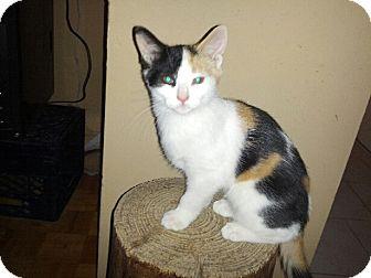 Calico Kitten for adoption in Toronto, Ontario - Maggie