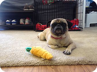 Pug Dog for adoption in Austin, Texas - Lilly