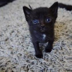 Kittens For Sale In Auburn Washington Adoptapet Com