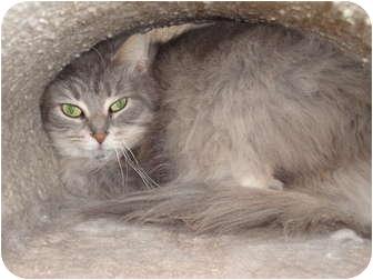 Domestic Longhair Cat for adoption in Kingston, Washington - Sade