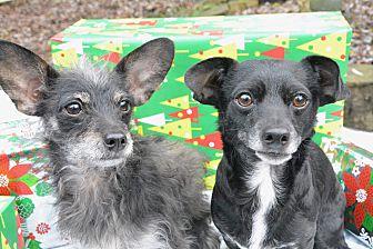 Adopt A Pet :: Krista  - Renton, WA