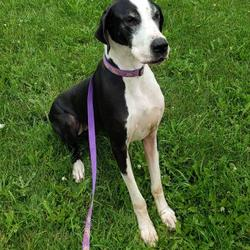 Upper Midwest Great Dane Rescue in Inver Grove Heights