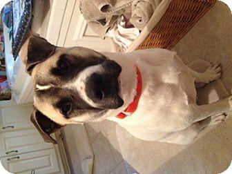 Akita/Boxer Mix Dog for adoption in CHICAGO, Illinois - Indy