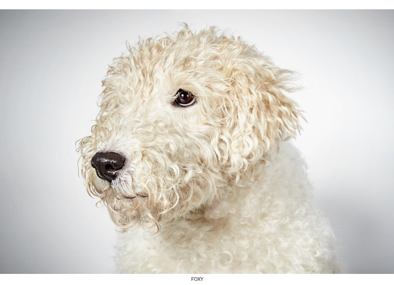 New York, NY - Fox Terrier (Wirehaired). Meet Foxy a Dog for Adoption.