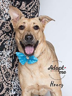 Adopt A Pet :: Honey  - Houston, TX