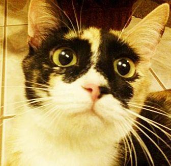 Domestic Mediumhair Cat for adoption in Santa Clarita, California - Patches