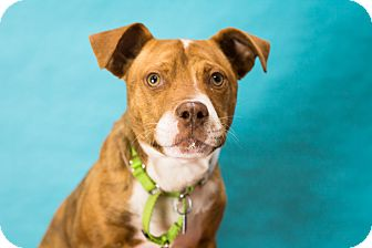 Pit Bull Terrier Mix Dog for adoption in Houston, Texas - Terra