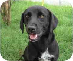 Labrador Retriever Mix Dog for adoption in Brenham, Texas - Merlin